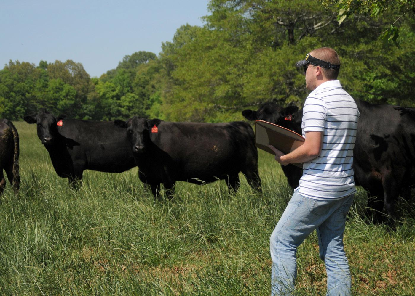 Nick Simmons of Saltillo is one of two evaluators using a new method of scoring hair shedding on this herd of Angus cattle on Mississippi State University's South Farm in April. (Photo by Kat Lawrence)