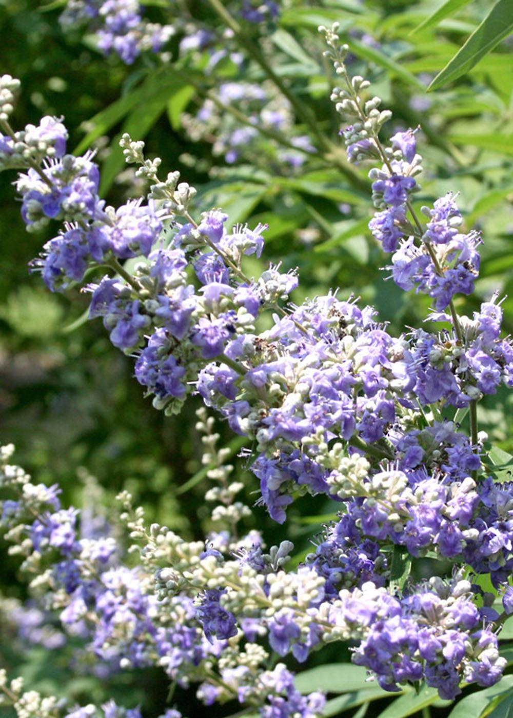 The chaste tree's flower color varies from lavender to lilac to pale violet and the tiny flowers bloom in small clusters that come together to form larger arrangements. The tree is seen throughout Jackson County and in other parts of the Mississippi Gulf Coast. (Photo by MSU Extension Service/Gary Bachman)