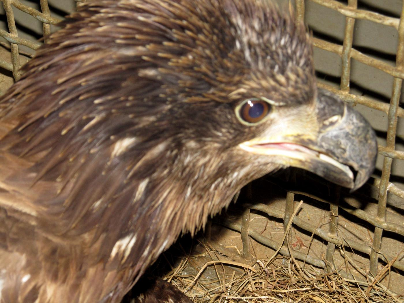 A juvenile bald eagle found in late April near the Burnsville community would have died if not for the efforts of a concerned citizen and three organizations. (Photo by MSU College of Veterinary Medicine/Maggie Horner)