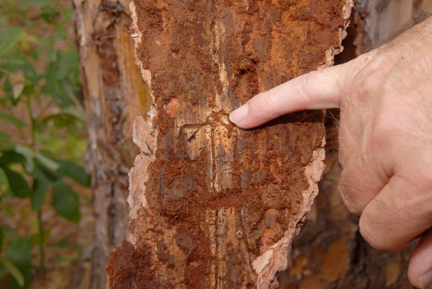 Pine bark beetles have attacked this stressed pine tree, burrowing under the bark and killing the tree. (file photo)
