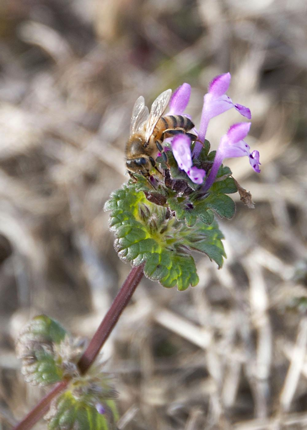 Honey bees forage on flowers, such as henbit, about a month earlier than usual due to warm winter temperatures. (Photo by Kat Lawrence)
