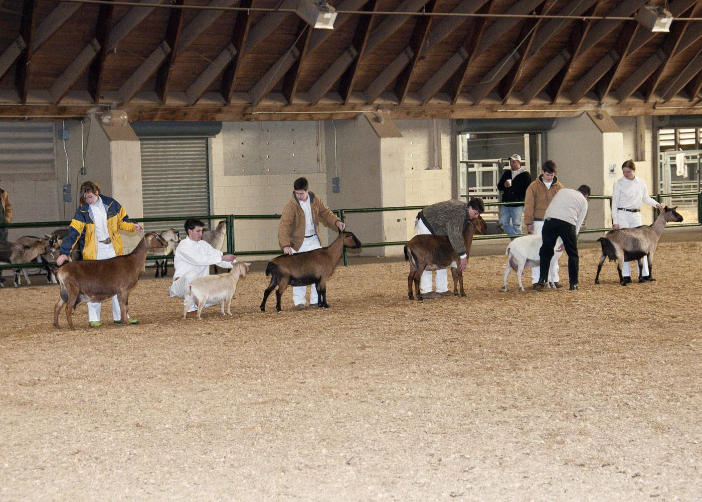 4-H'ers are increasingly choosing to show goats because of the animals' small size and gentle behavior. (Photo by Scott Corey)