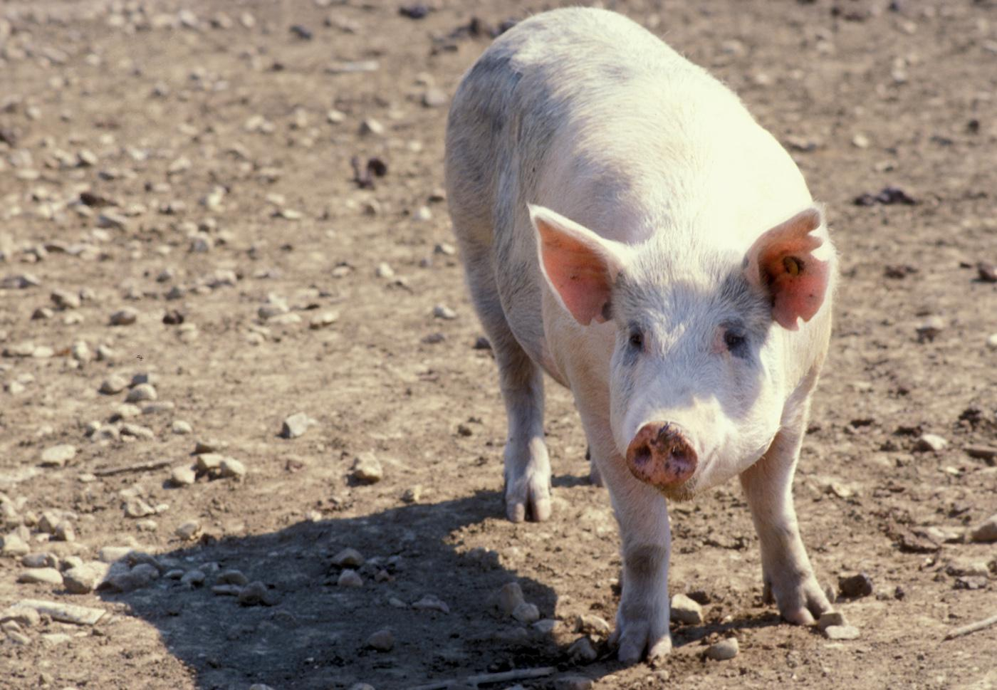 As a precaution against a new strain of swine flu, Extension agents and veterinarians will be closely monitoring the health of hogs involved in the 2012 Mississippi State Fair in Jackson. (MSU Ag Communications file photo)