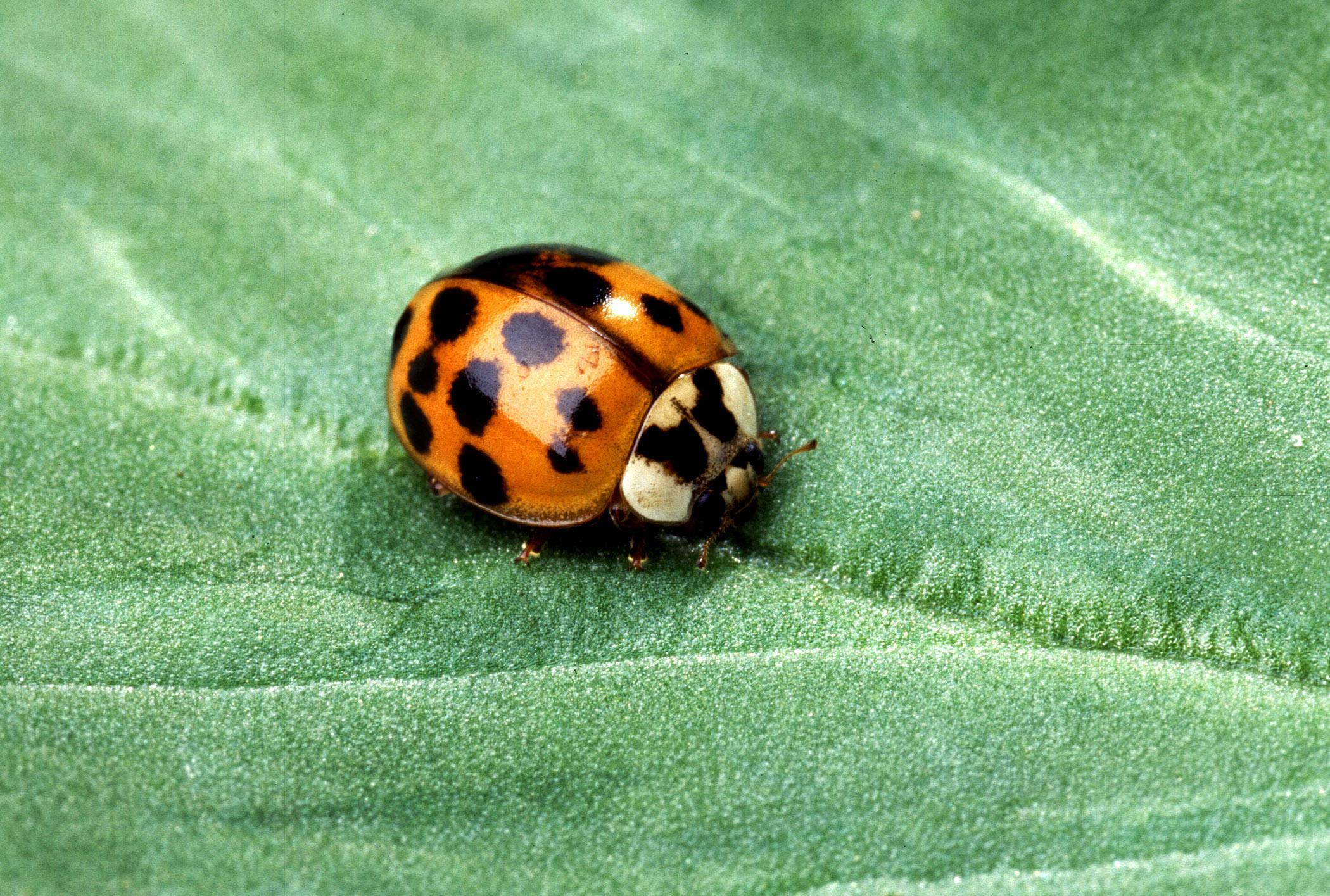 Mississippi homeowners can keep out insect pests, such as this Asian lady beetle, by screening soffit vents and using silicone caulk to seal cracks around the house. (Photo courtesy of USDA-ARS/Scott Bauer)