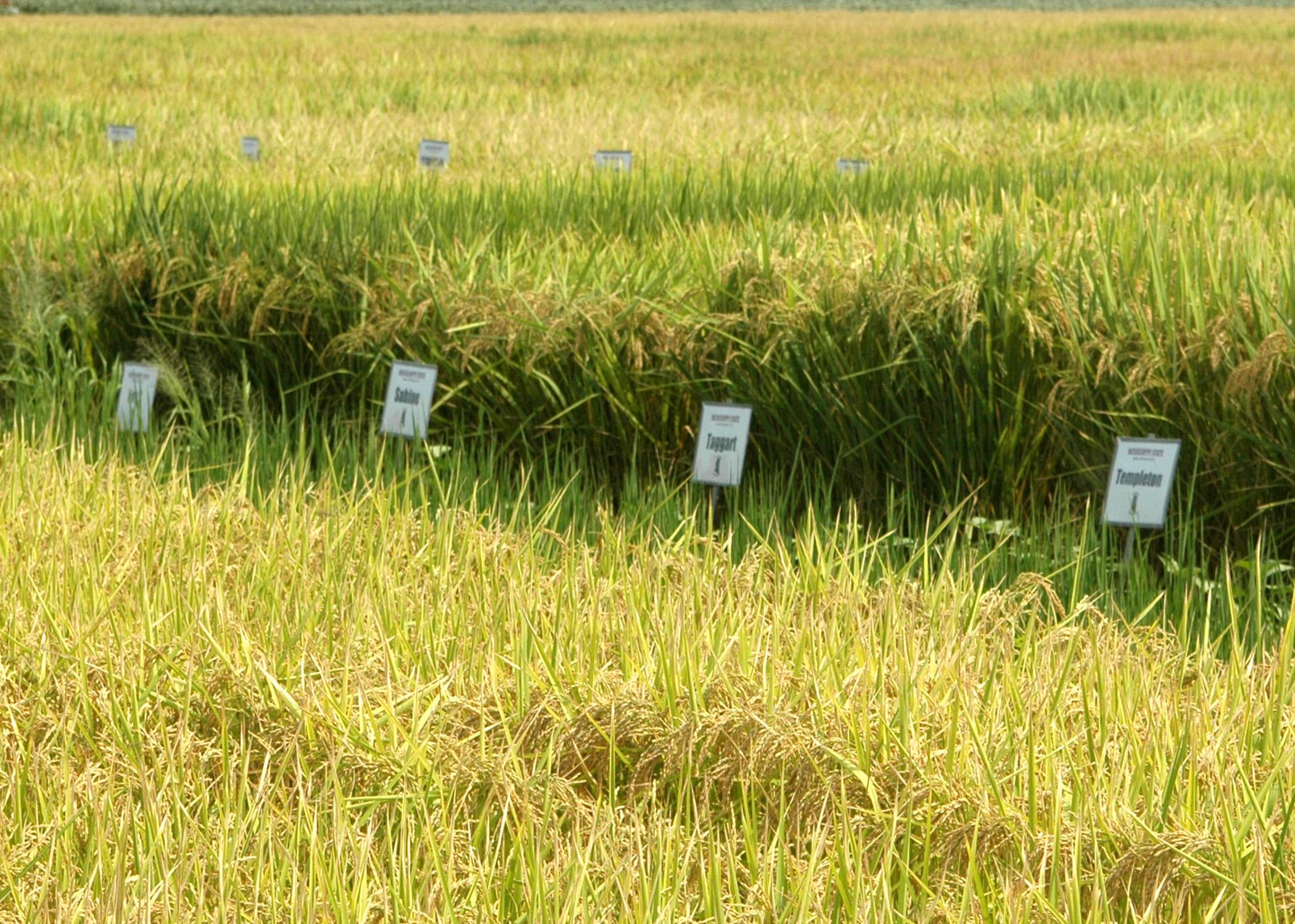 Mississippi State University's Delta Research and Extension Center is one of five rice-producing organizations participating in the Uniform Regional Rice Nursery, a rice research cooperative. (Photograph by DREC Communications/Rebekah Ray).