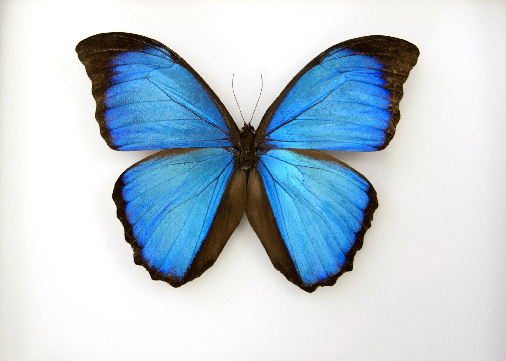This blue Morpho butterfly has a wingspan of about 4 inches and was one of about 1,300 butterfly specimens donated to Mississippi State University by Ruth Williams, widow of lifelong collector Jim Williams. (Photo by MSU Ag Communications/Kat Lawrence)