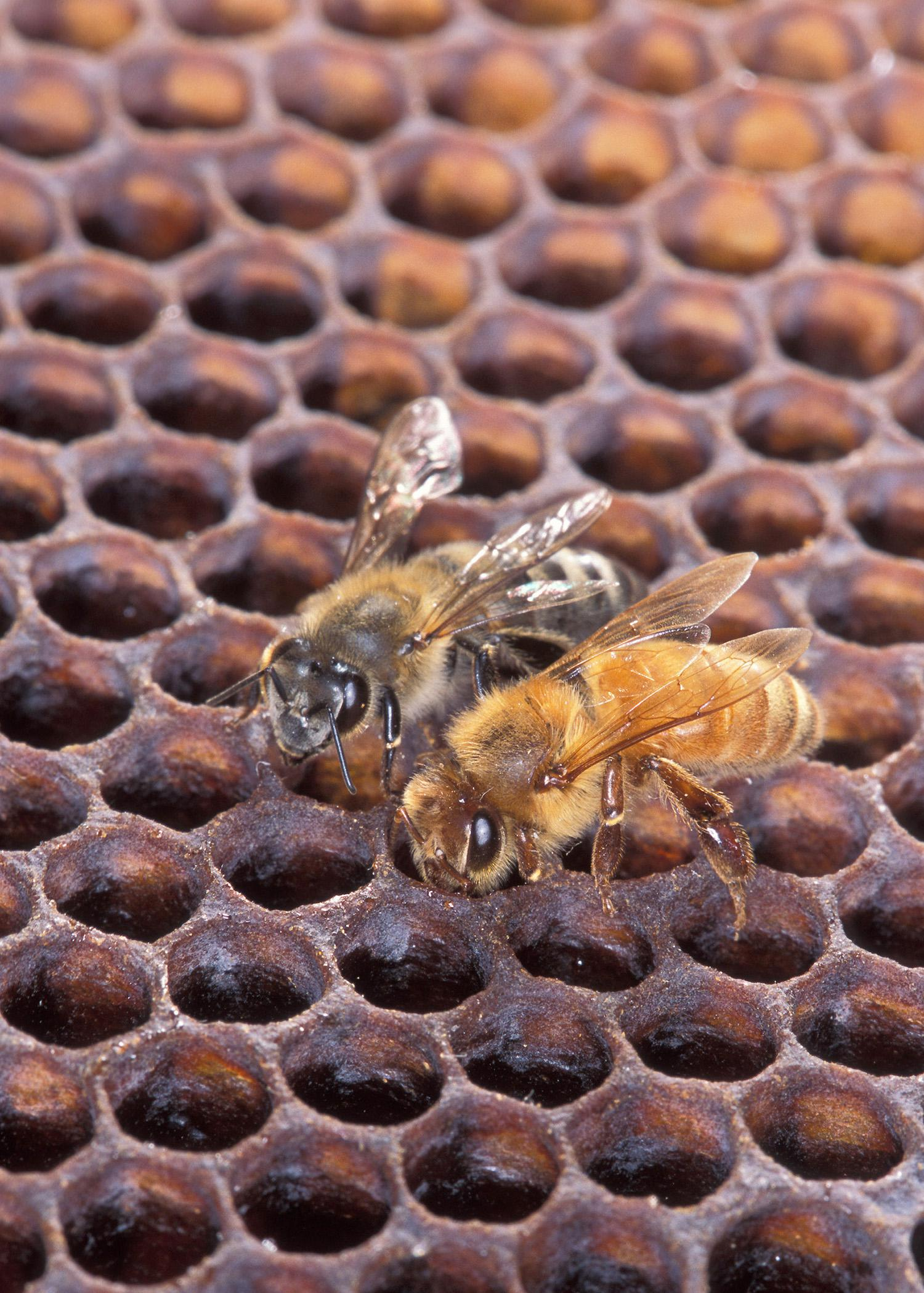 Despite color differences between this Africanized honeybee (left) and a European honeybee, it requires scientific analysis to distinguish between the two. (Photo by USDA-Agricultural Research Service/Scott Bauer)