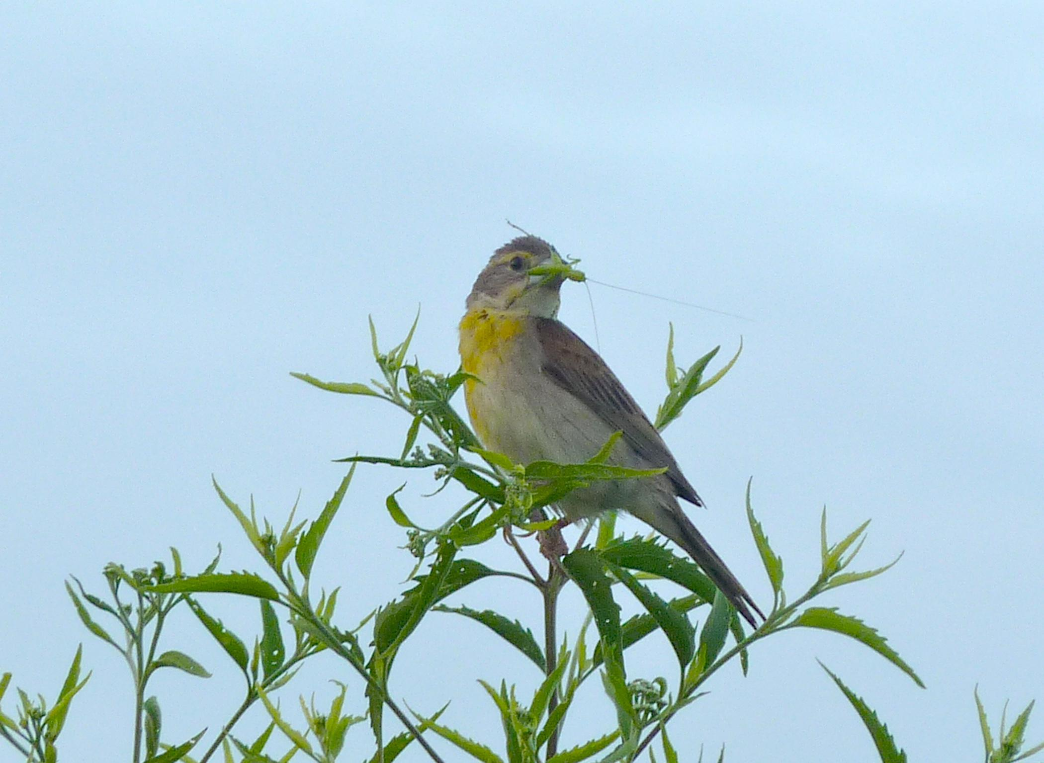 Dickcissels, such as this one, are sparrow-sized birds that prefer native grasslands for foraging and nesting and rely on insects for the bulk of their diet. Mississippi State University scientists are studying the use of native grasses as livestock forages. (Photo courtesy of Adrian Monroe)