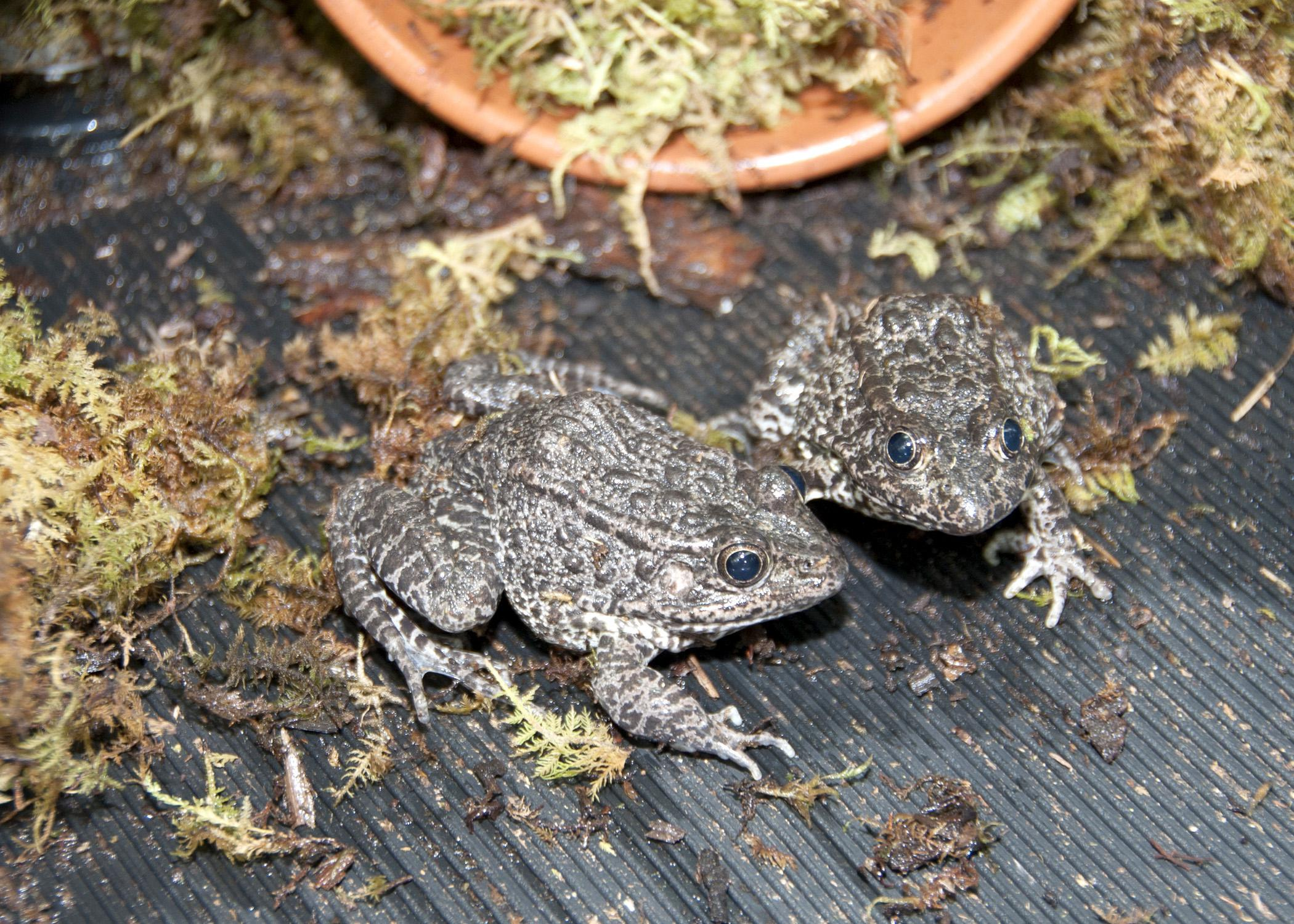 The Mississippi gopher frog is one of the most critically endangered species in North America. Mississippi State University is trying to learn how to get its 34 adult gopher frogs to breed in captivity. (Photo by MSU Ag Communications/Kat Lawrence)