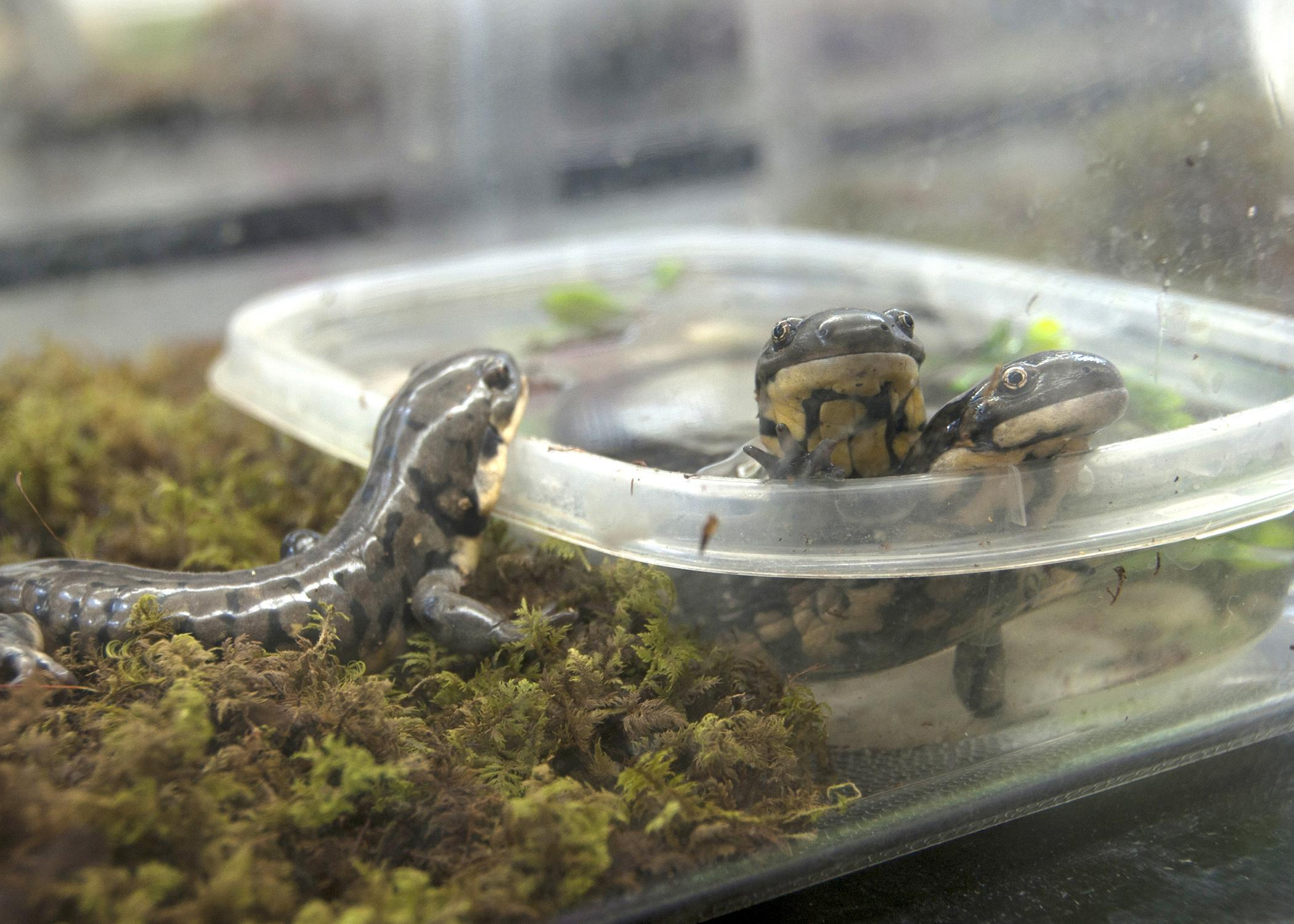 About 50 percent of salamander species worldwide are threatened. Researchers at Mississippi State University are working with these and other threatened salamanders to help them breed in captivity. (Photo by MSU Ag Communications/Kat Lawrence)