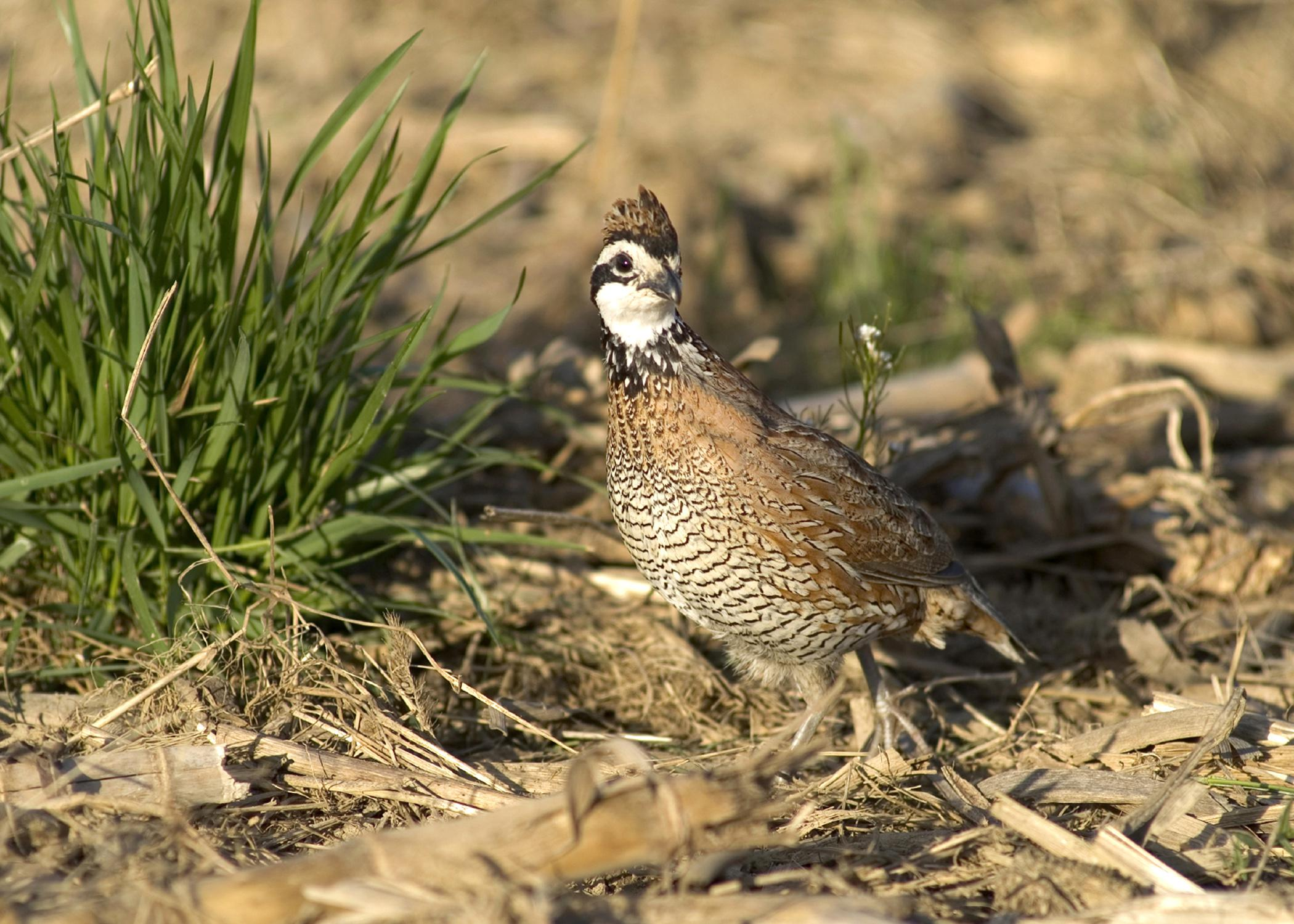 The conservation practice known as CP33 is showing significant results in increasing the bobwhite quail population of the state. (Photo by MSU University Relations/Russ Houston)