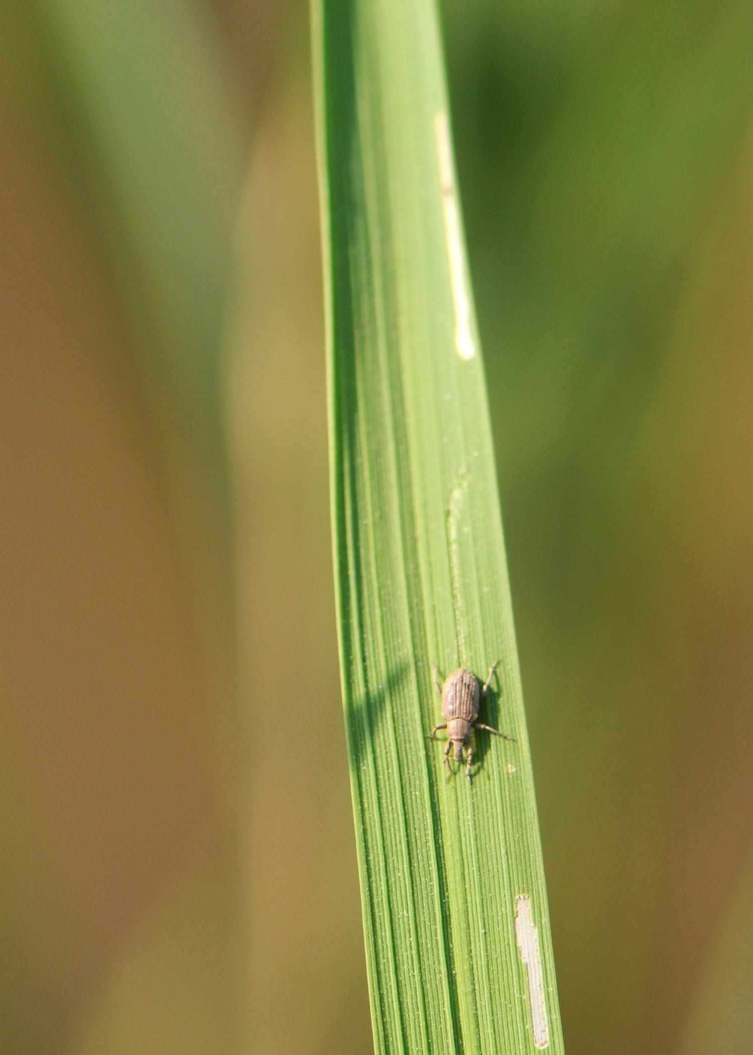 The rice water weevil, such as this adult on a rice leaf, is one of the most troublesome insect pests in rice, but seed treatments have proven to be effective in controlling them. The scars on the leaf are evidence of the rice water weevils' feeding. (Photo by Delta Research and Extension Center/Jeff Gore)