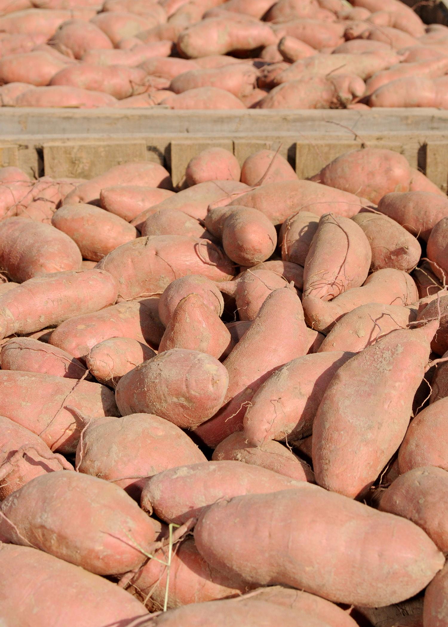 The Mississippi State University Extension Service works in a variety of ways to support Mississippi's sweet potato industry, which ranks third in the U.S. in production. (Photo by MSU Ag Communications/Kat Lawrence)