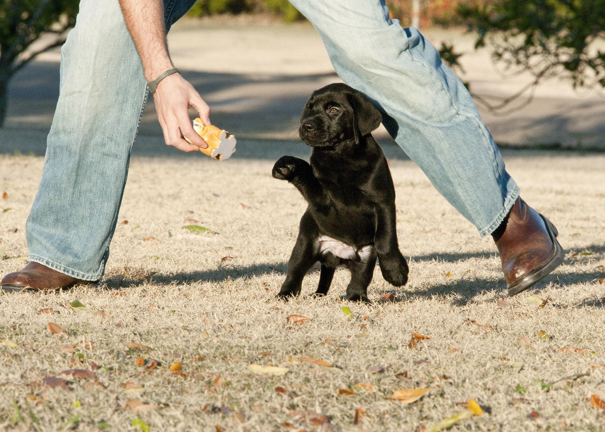 New puppy parents can modify behavior by incorporating some training into daily interactions. A fun game of fetch teaches puppies to return items of value. (Photo by MSU College of Veterinary Medicine/Tom Thompson)