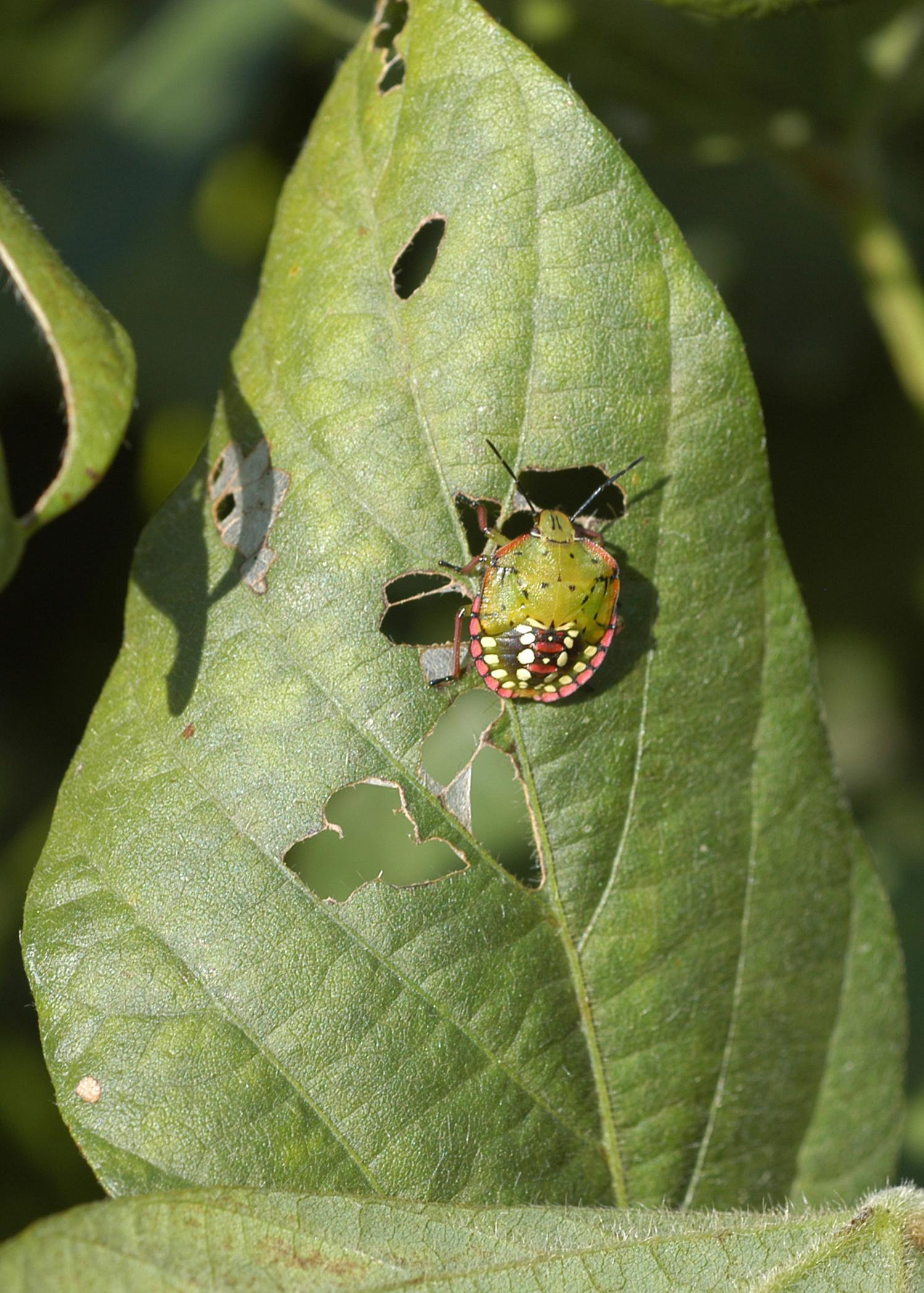 Mississippi State University recently changed its recommendations on when to treat for stinkbugs in soybeans. This Southern green stinkbug is in its nymph phase. (Photo by MSU Extension Service)