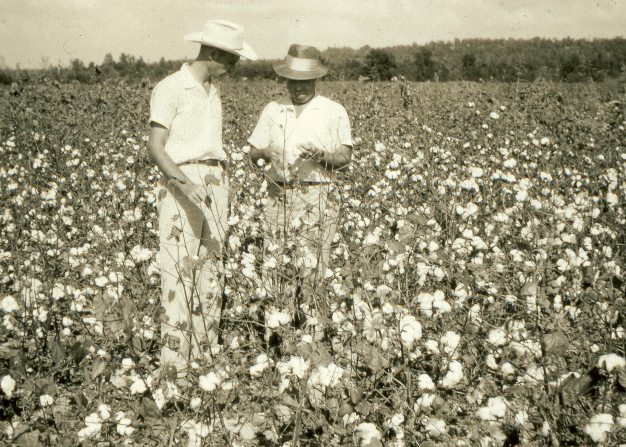 Mississippi State University Extension Service agents spent many hours beside farmers in cotton fields as they waged war against invasive boll weevils, which often robbed plants of their top bolls. Extension personnel helped organize the successful eradication efforts that resulted in Mississippi fields without boll weevil since 2009. (MSU Ag Communications file photo)