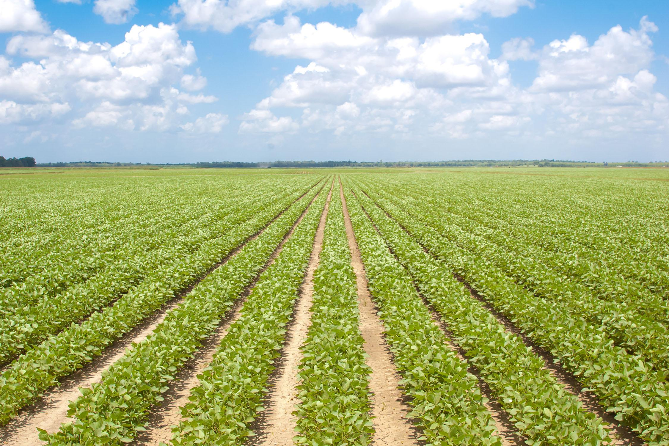 Mississippi State University scientists simulated various on-farm soybean production scenarios to analyzed risk-management programs in the new farm bill. Their results should help soybean producers make informed decisions for the next crop. (Photo by MSU MAFES/David Ammon)