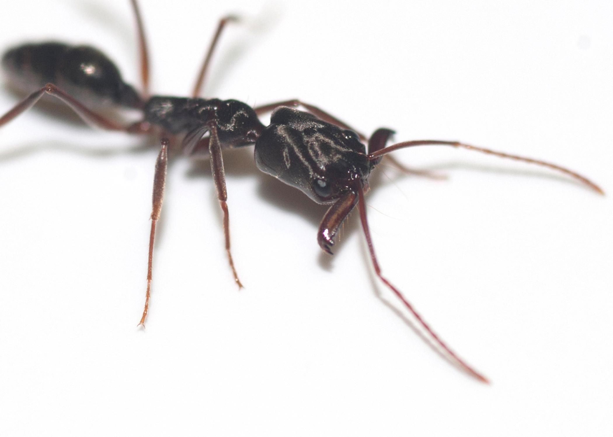 Trapjaw ants can snap their extremely large and powerful mandibles together to catch prey or perform a defensive maneuver that allows them to jump several inches away from danger. (Photo by MSU Ag Communications/Kat Lawrence)