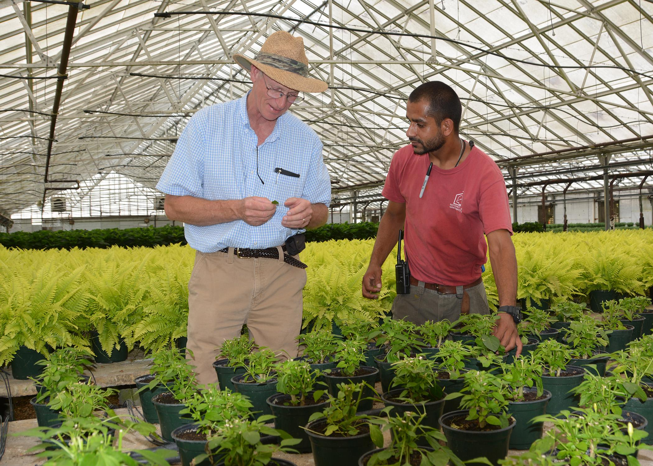 Blake Layton, entomologist with the Mississippi State University Extension Service (left), and Nick Terkanian of the Natchez Trace Greenhouses in Kosciusko, Mississippi, examine Red Missile peppers for swirski-mites on Aug. 19, 2014. (Photo by MSU Ag Communications/Linda Breazeale)