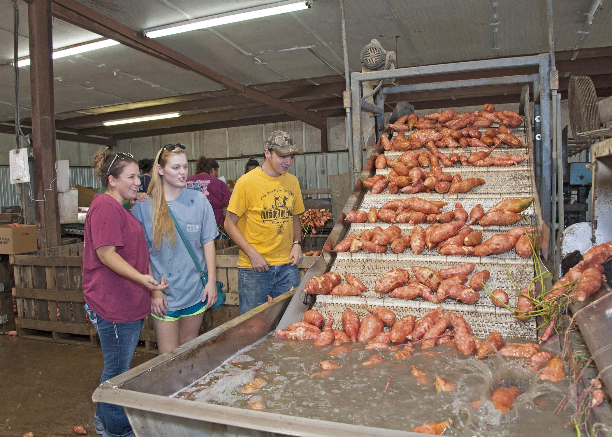 Mississippi State University students in the Department of Food Science, Nutrition and Health Promotion (from left) Morgan Von Staden, Hanna Olstad and Andrew Moorhead observe the washing process on a sweet potato packing line Sept. 5, 2014, in Vardaman, Mississippi. (Photo by MSU Ag Communications/Kat Lawrence)
