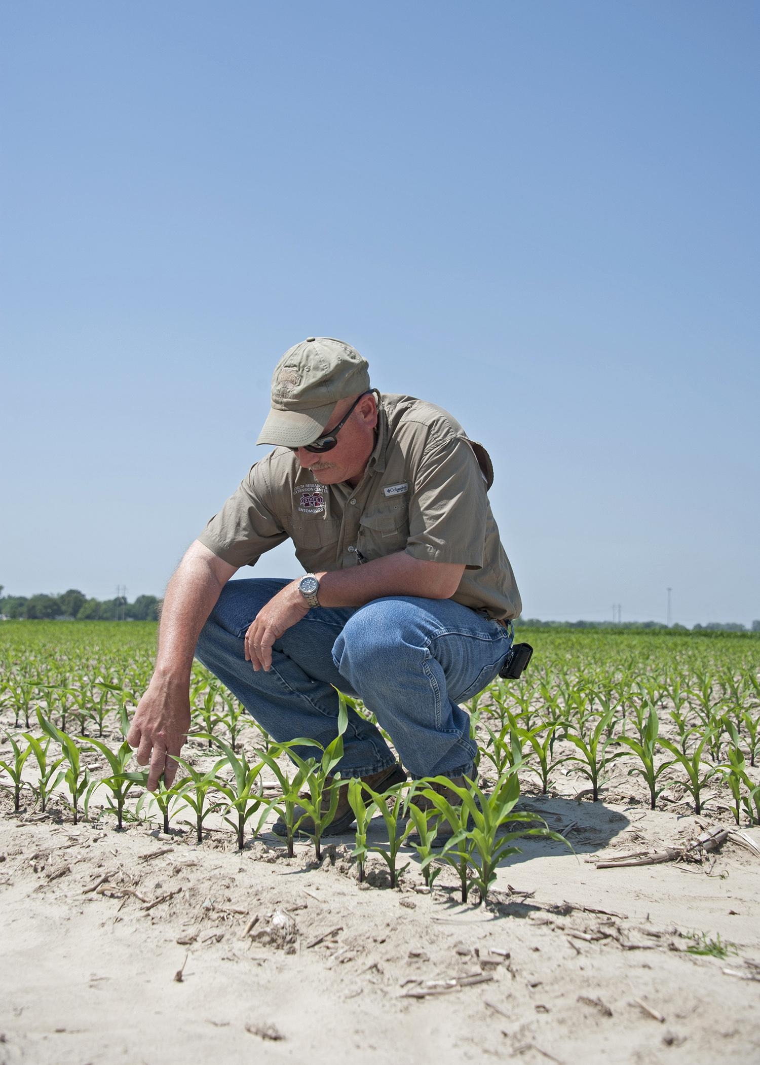 Don Cook, a research entomologist with the Mississippi Agricultural and Forestry Experiment Station and the Mississippi State University Extension Service's Delta Research and Extension Center, inspects young corn for early-season insect damage. (File photo by MSU Ag Communications/Kat Lawrence)
