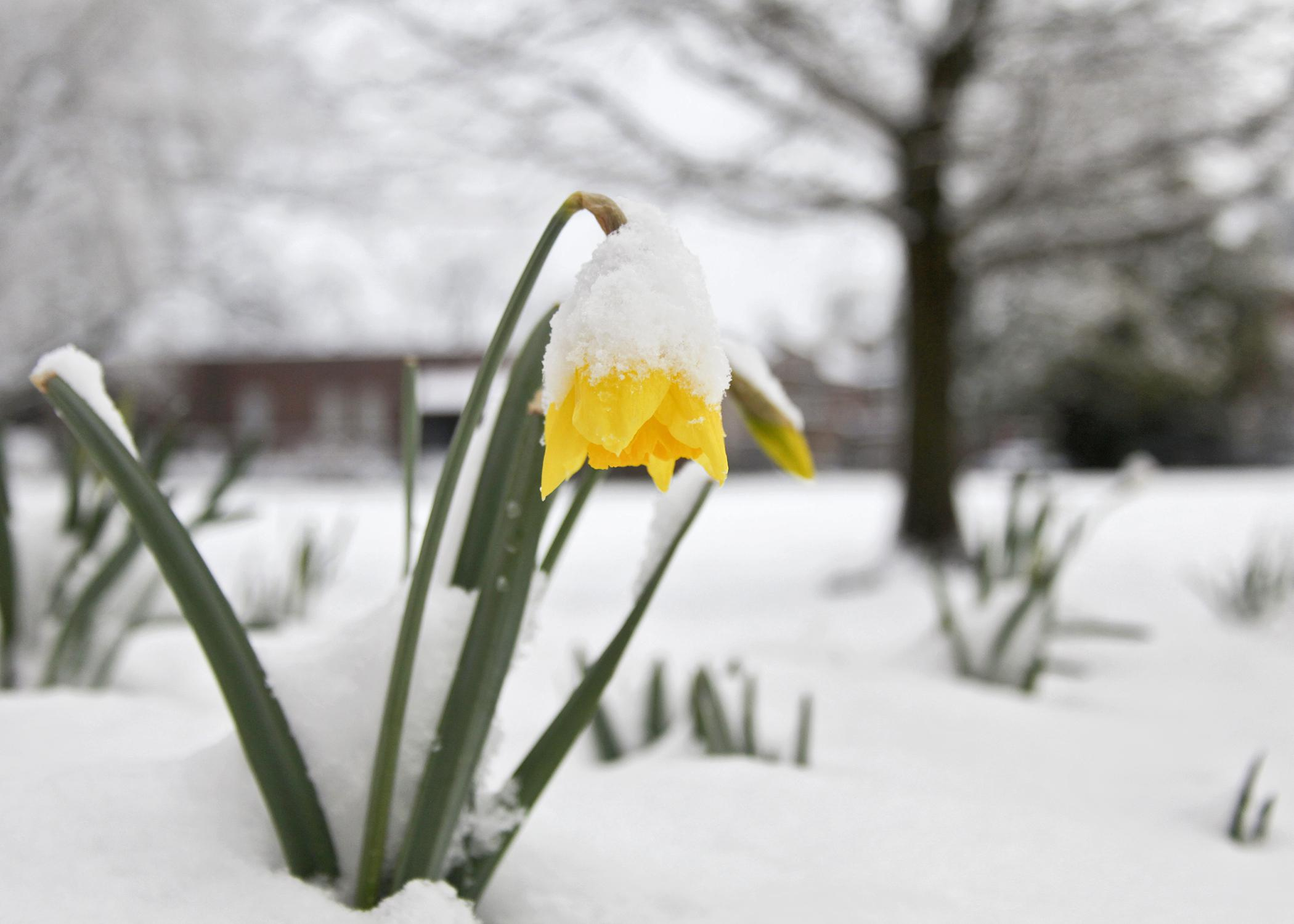 Late winter in Mississippi sometimes brings both blooms and snow. Daffodils, such as these blooming at Mississippi State University on Feb. 26, 2015, will survive to look pretty once temperatures moderate. (Photo by MSU Ag Communications/Kat Lawrence)