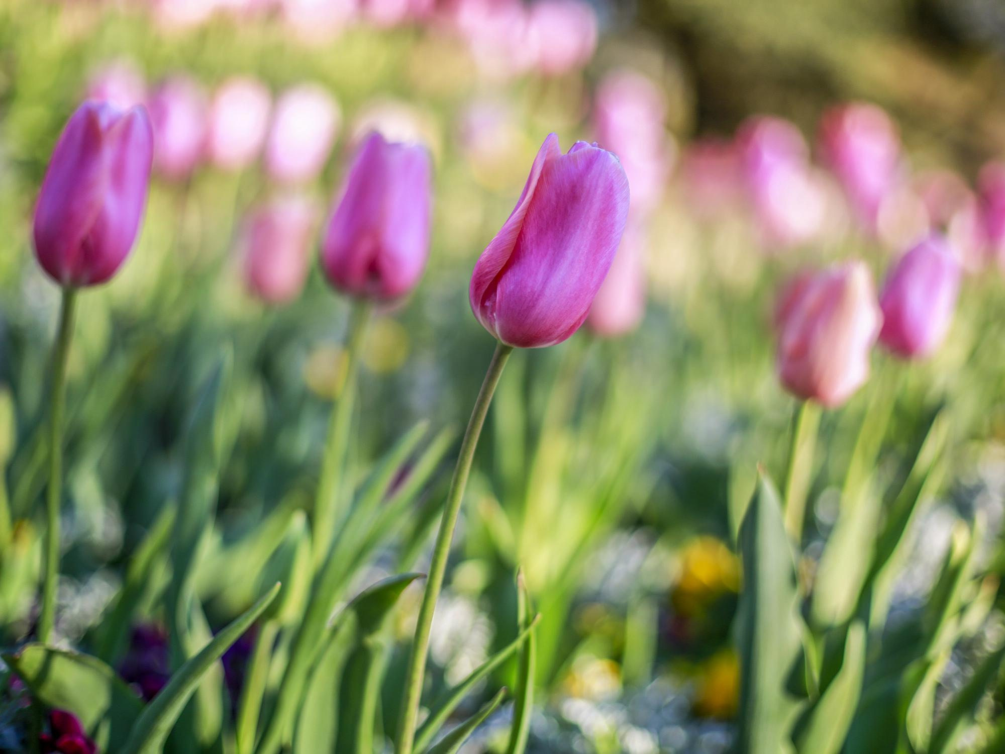 A picture of several pink tulips with one in focus and others blurred in the background.