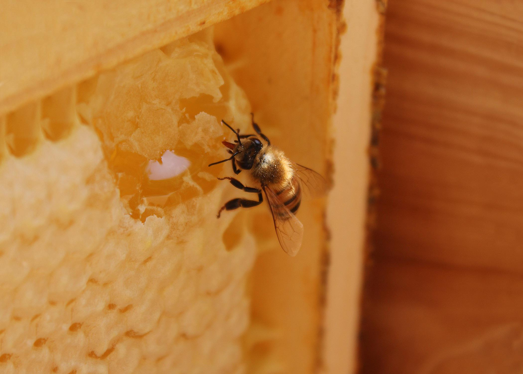 A worker bee sips honey from a piece of honeycomb in a frame.