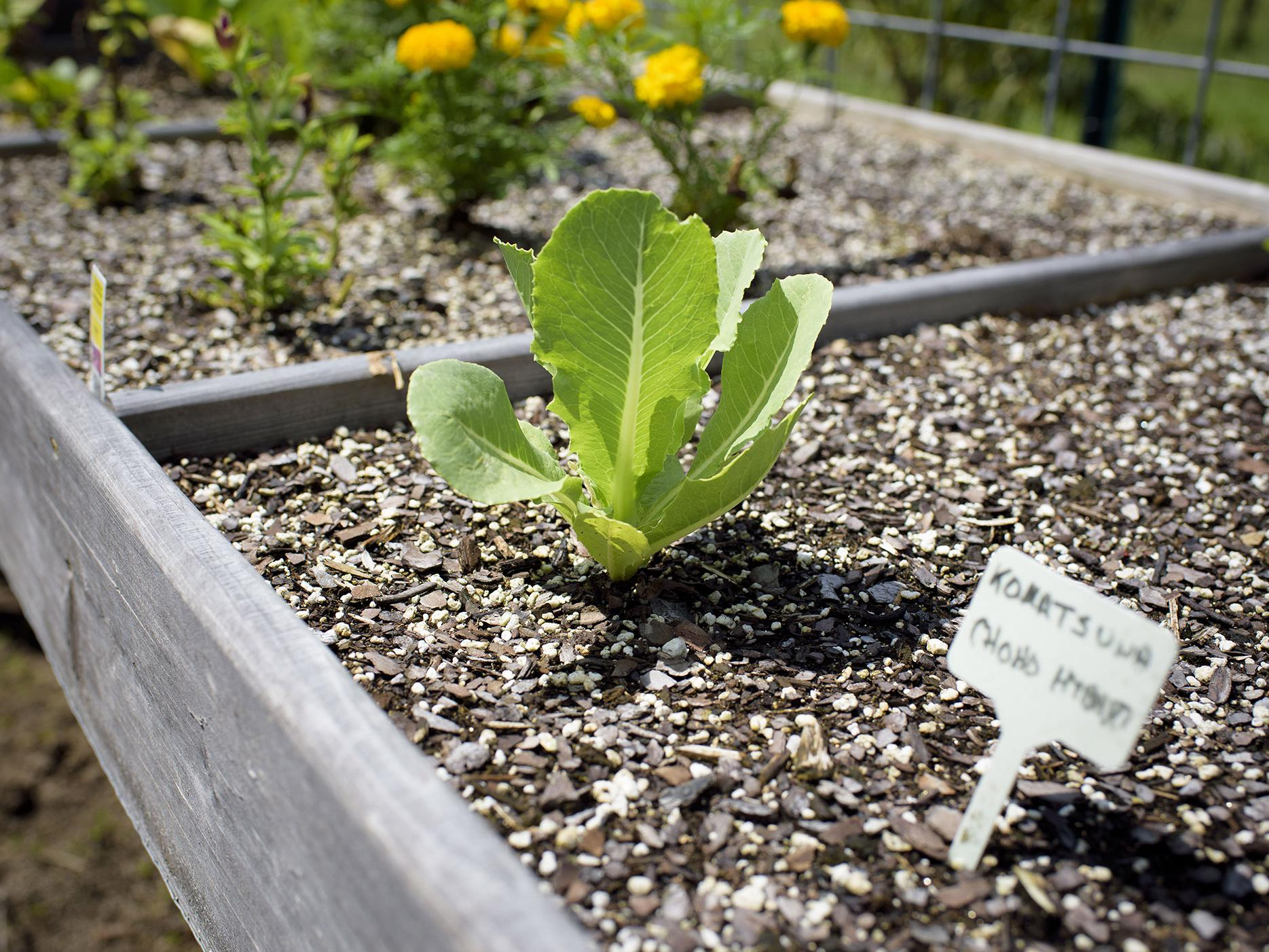 Close-up of a young leafy green vegetable plant growing in a salad table with other herbs and marigolds.