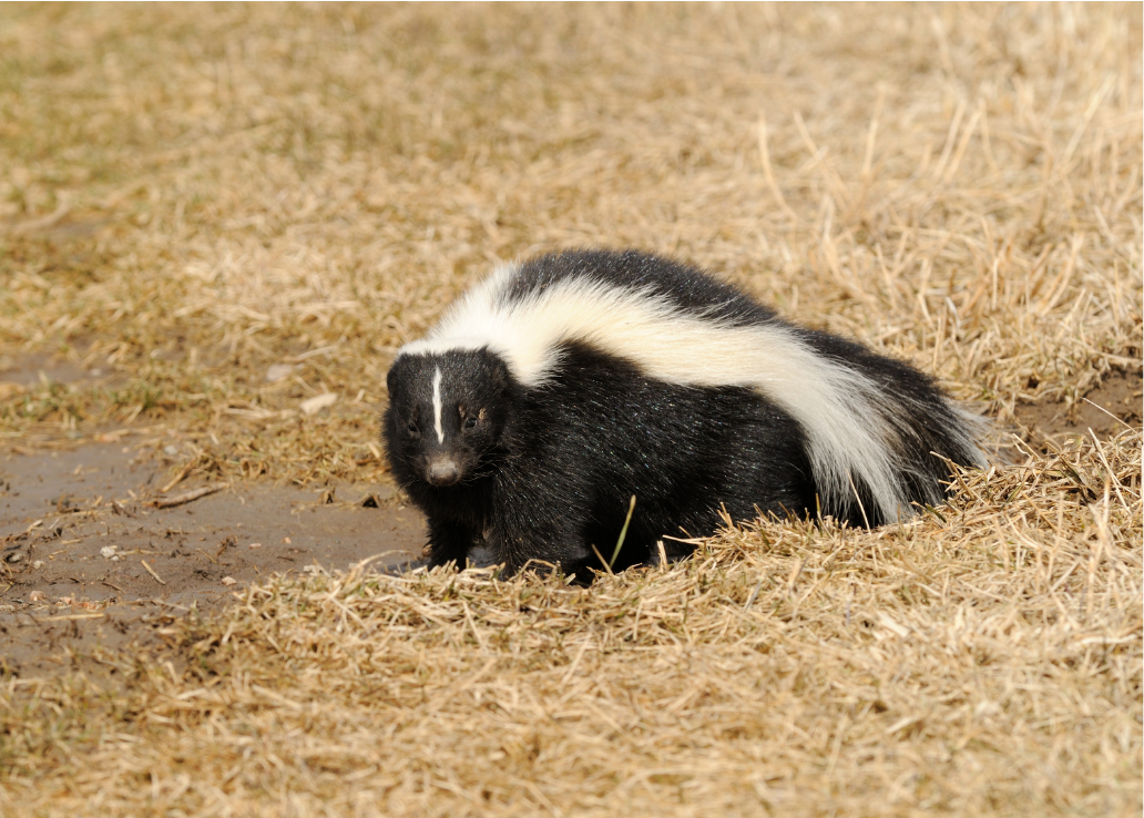 A black and white skunk.