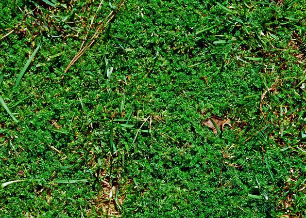 Lawn Burweed
