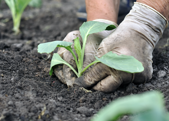 A closeup of a person with white gloves planting cabbage.