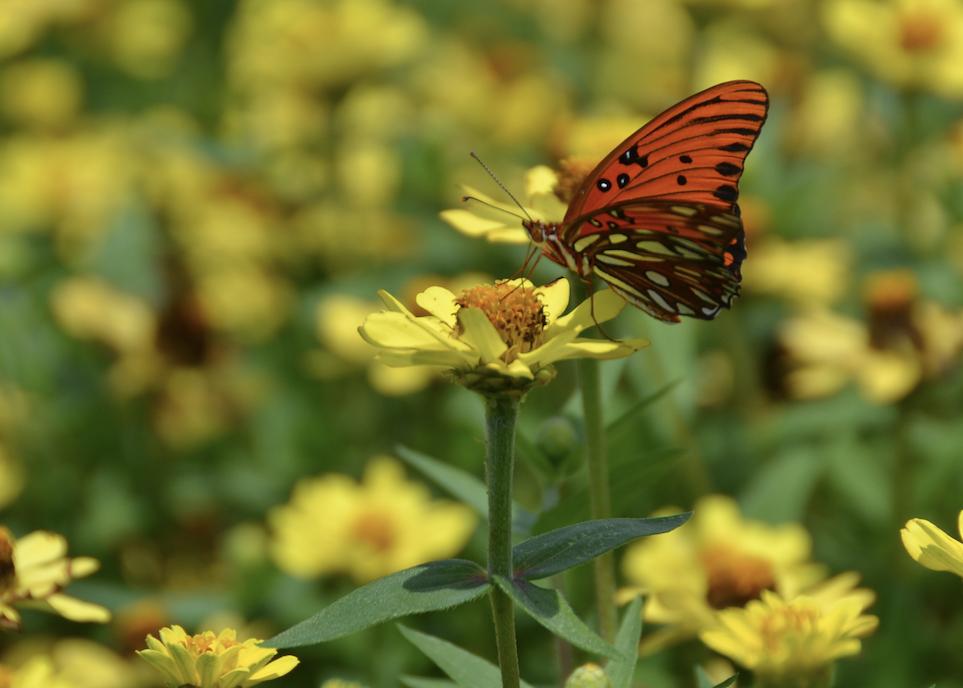 An orange butterfly on a yellow flower.