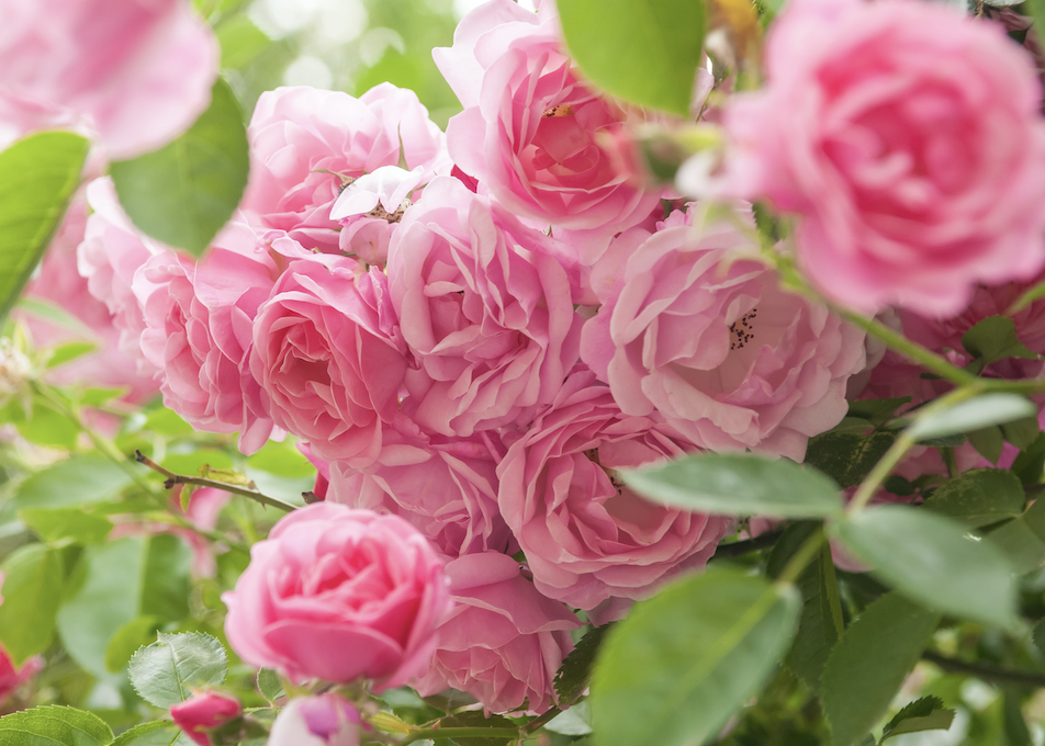 A cluster of bright pink roses.