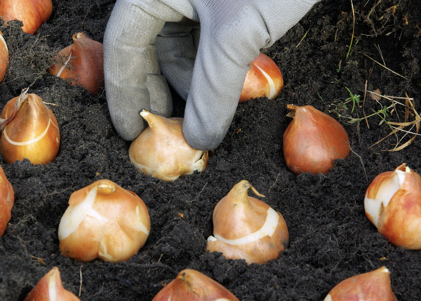 A hand with a a grey glove on planting a series of bulbs in the soil.