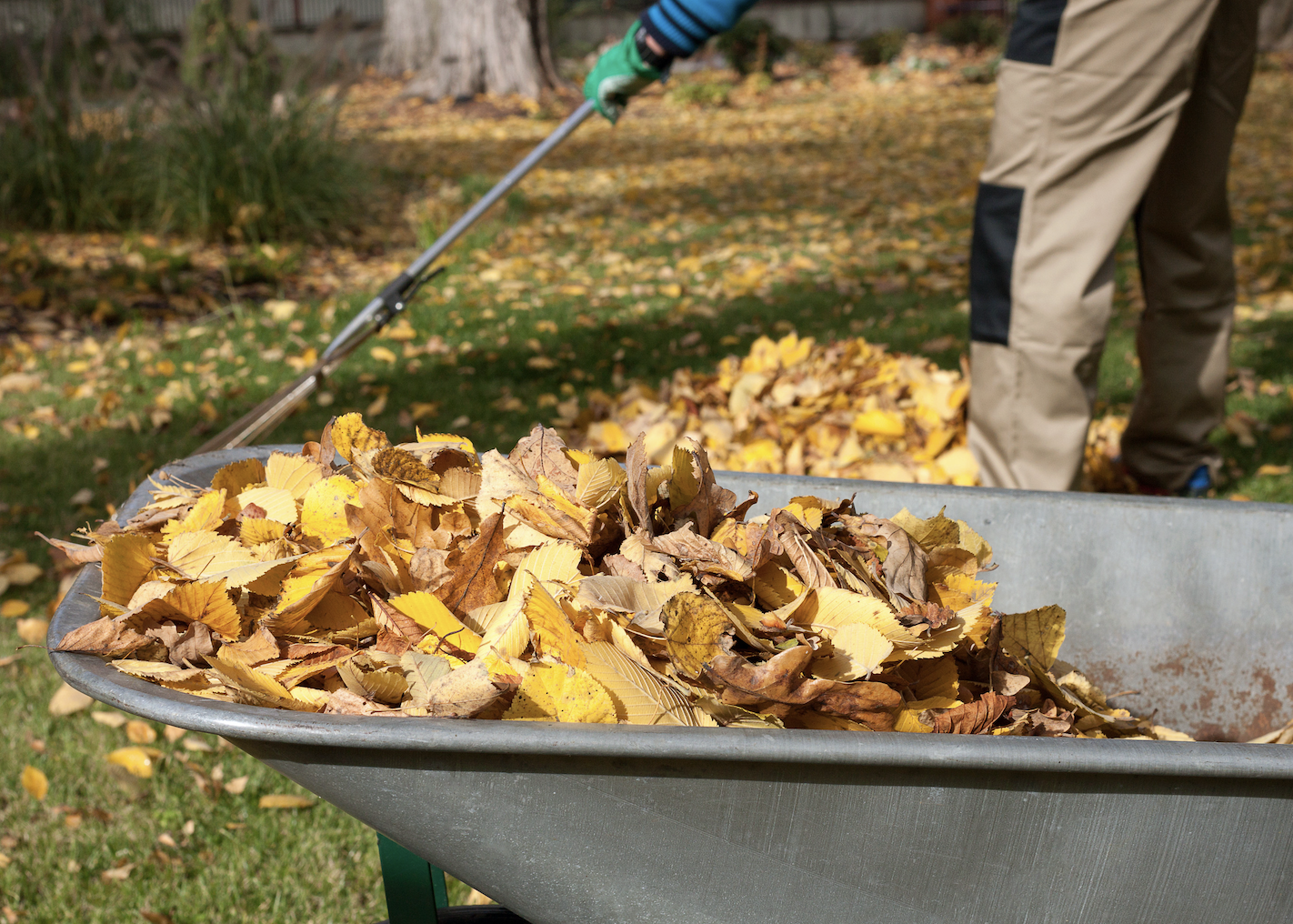A man raking leaves into a wheelbarrow.