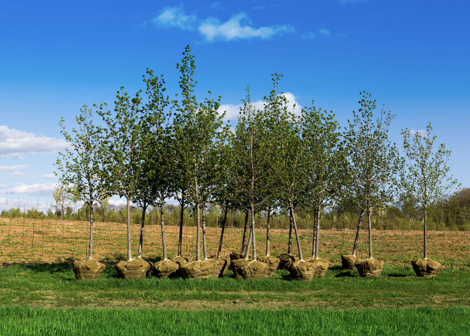Trees waiting to be planted.