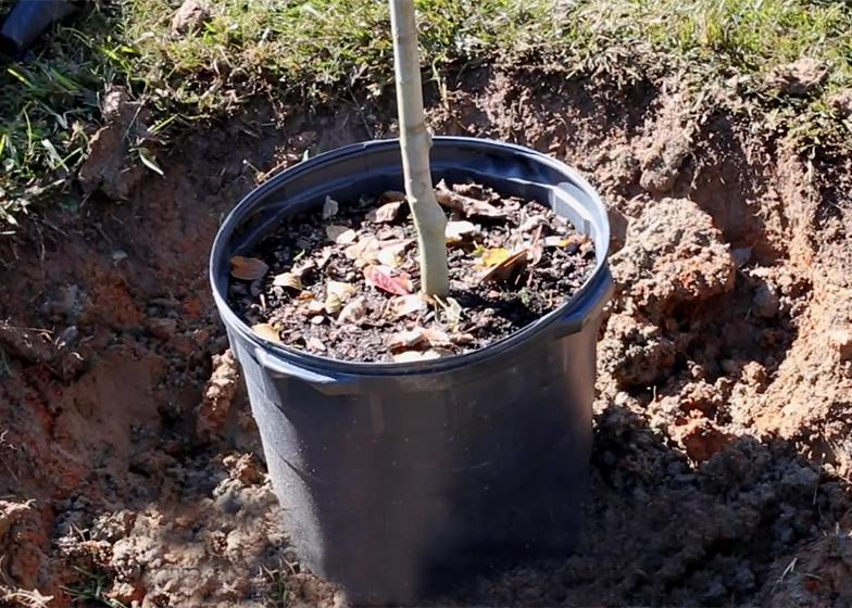 A small tree in a black container inside a freshly dug hole.