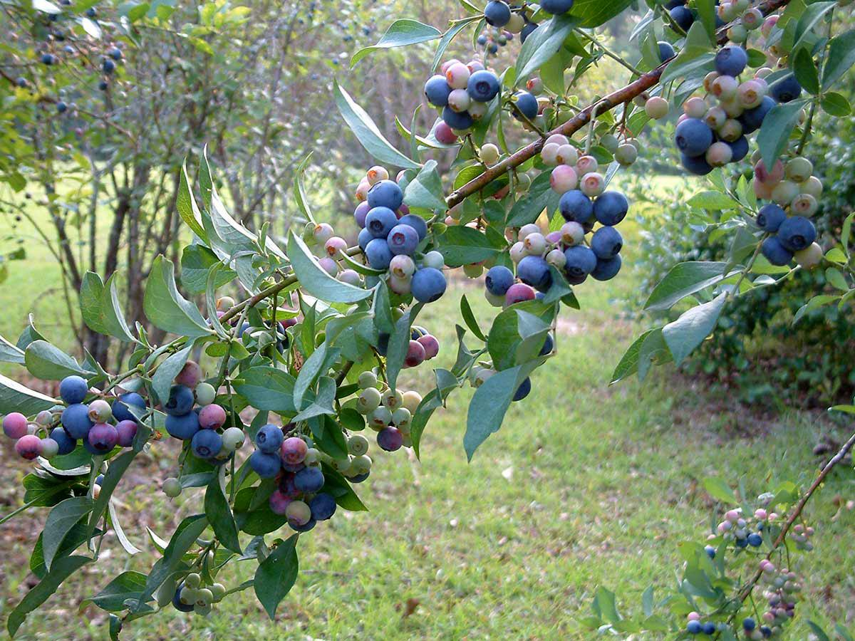 Multiple clusters of blueberries in varying stages of ripeness adorn a branch covered with green leaves.