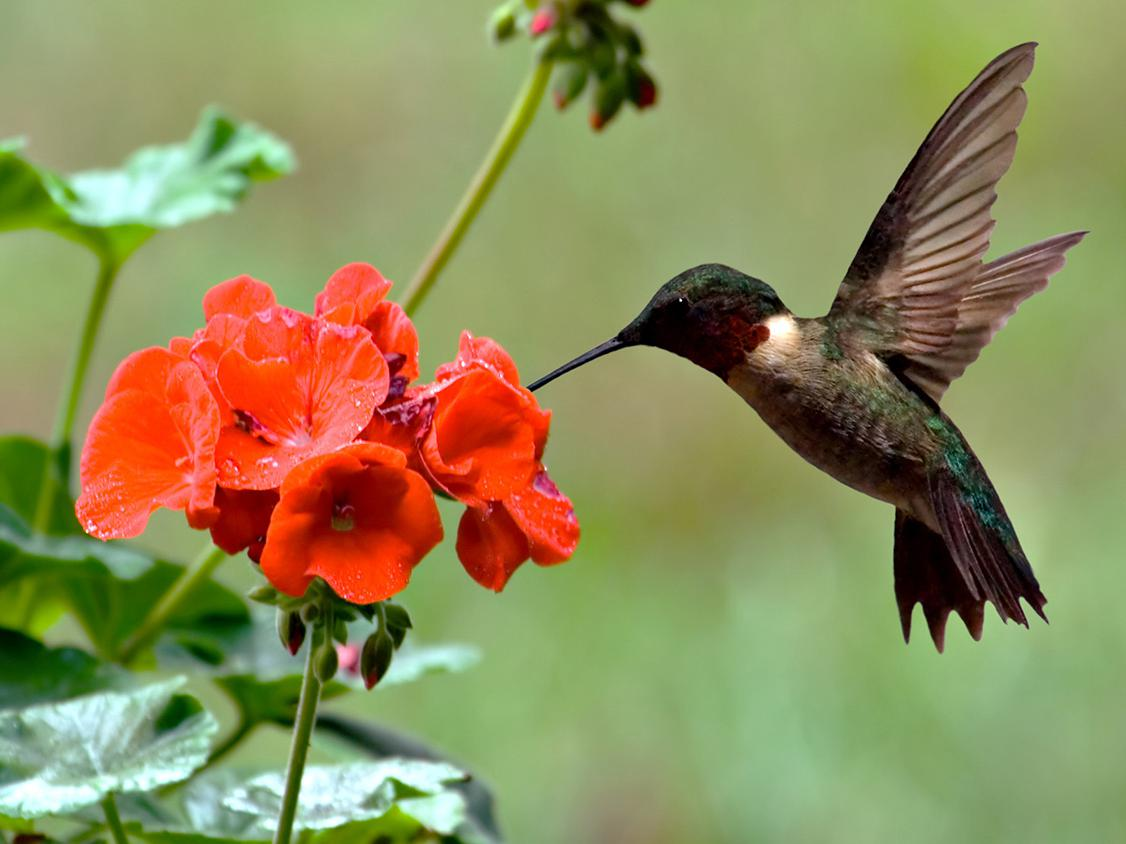 A red-throated hummingbird hovers over a red geranium.