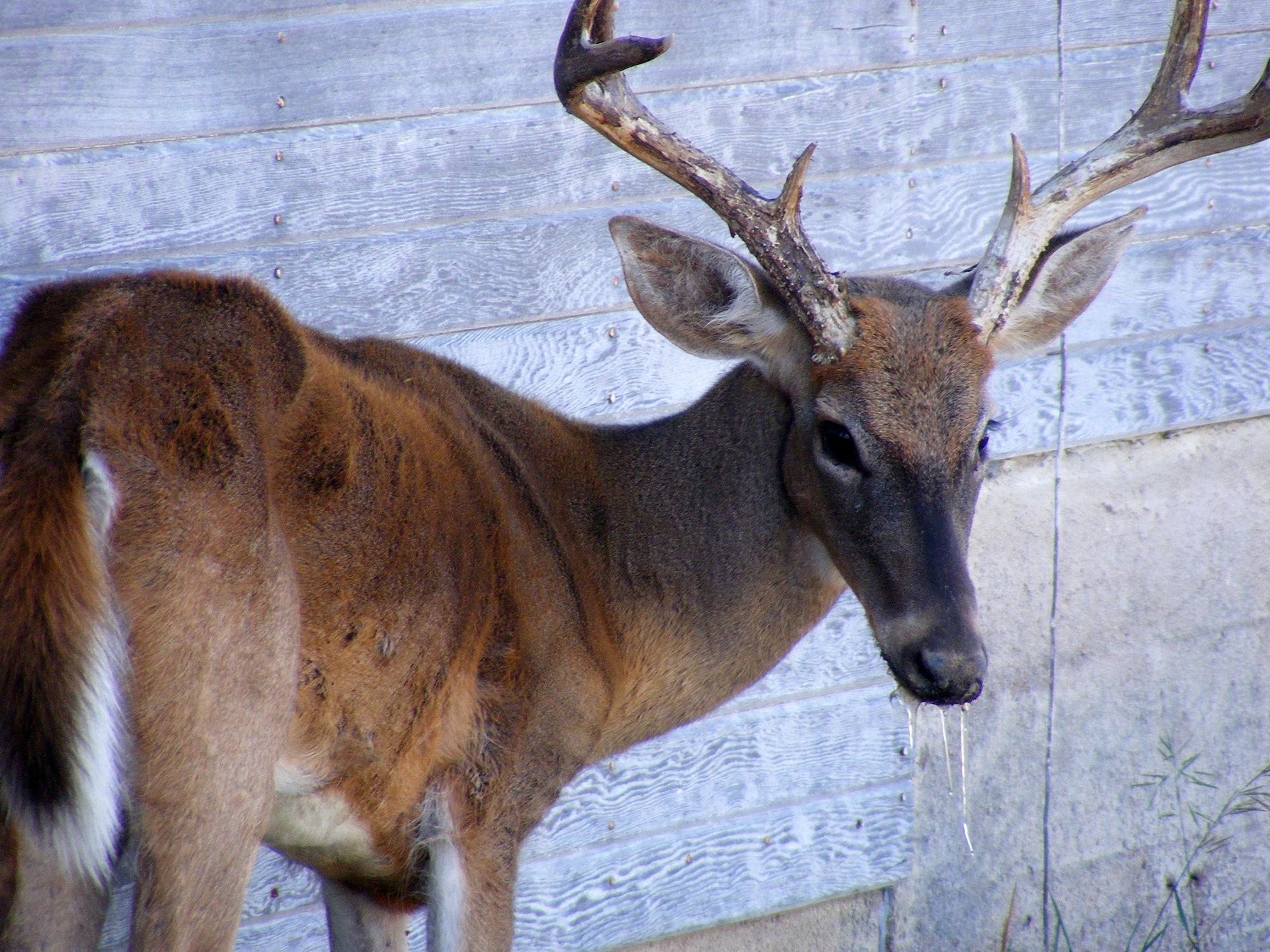 A thin, eight-point buck stands beside a wall with drool coming from his mouth.