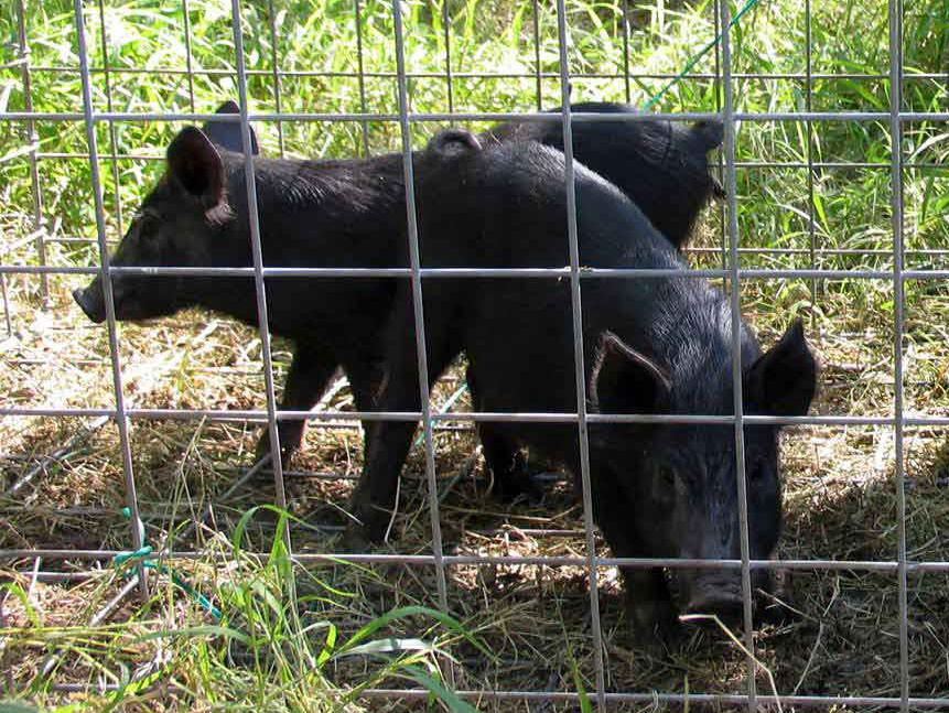 An adult wild hog and two piglets, all covered in coarse black hair, stand inside a wire-sided trap set in green grass on the edge of some woods.