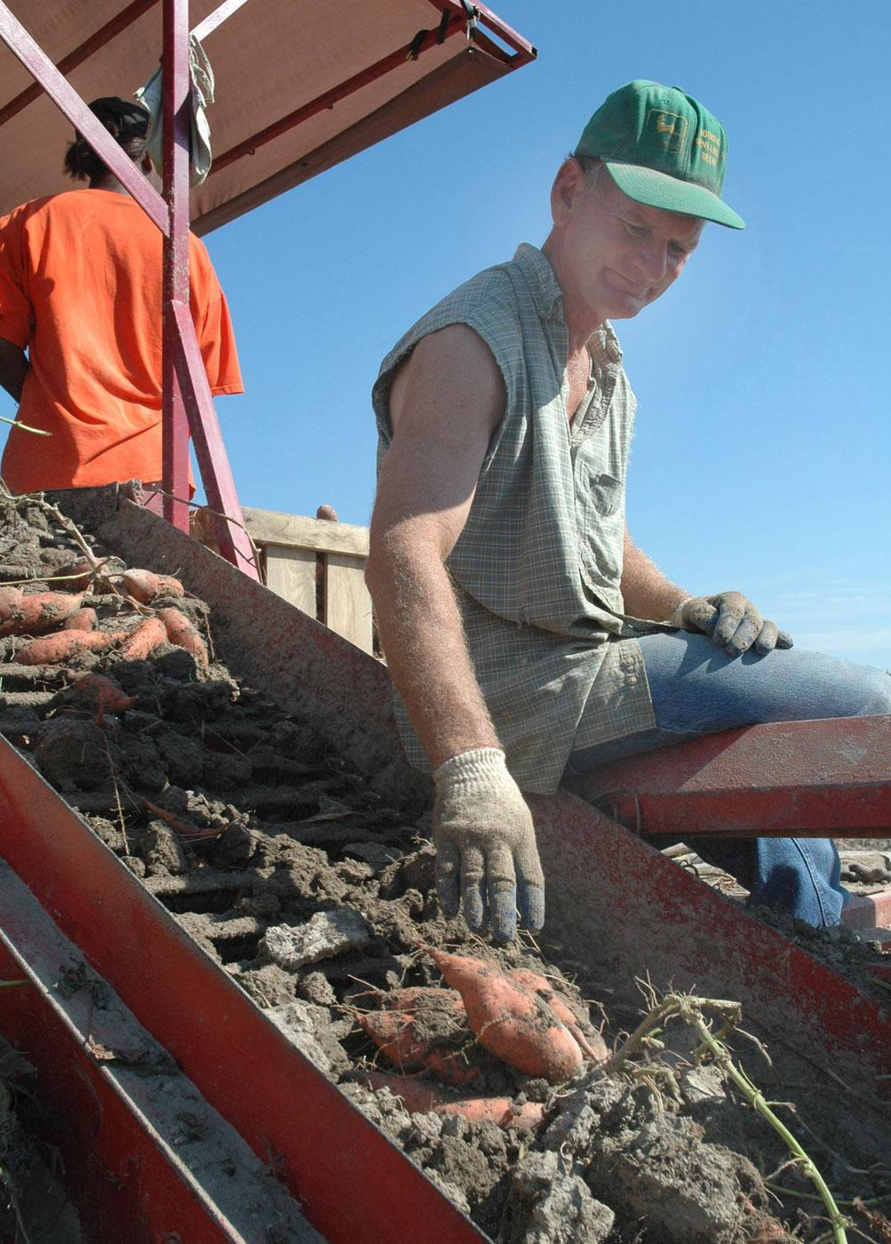 Steve Pettit inspects sweetpotatoes being harvested on his farm near Houston.