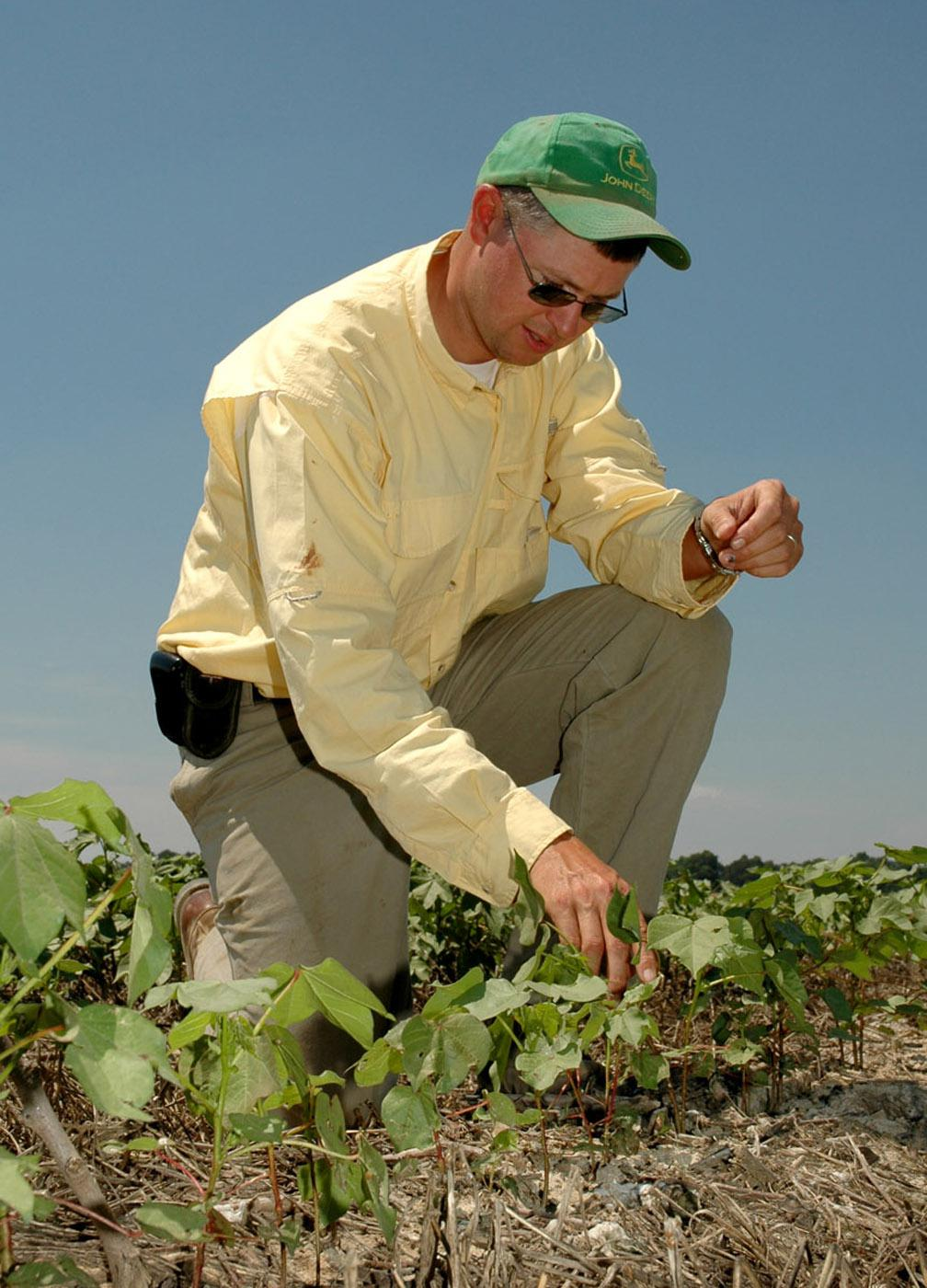 Coley Little Bailey of Yalobusha County checks to see how some of his cotton is coping with the hot, dry conditions in mid-June. Bailey planted wheat after last fall's cotton harvest to assist the 2006 cotton crop. Bailey applies a herbicide a couple of weeks before spring planting to kill the wheat. The cover crop then provides wind protection for young cotton, and its massive root system helps the soil retain moisture longer during droughts.