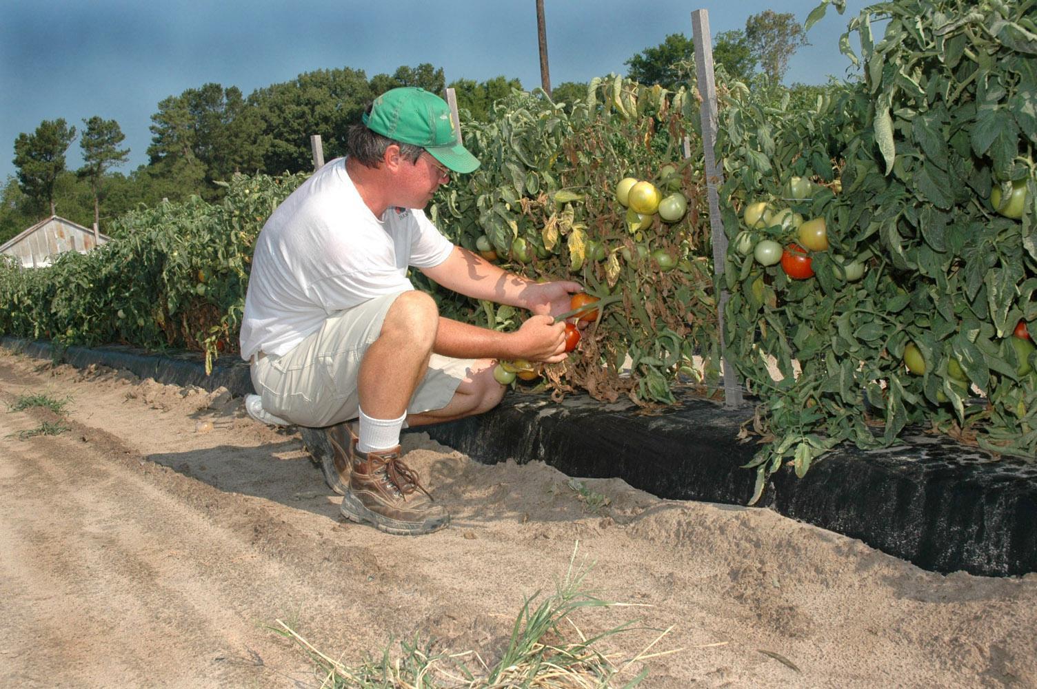 Mel Ellis picks some of his vine-ripe tomatoes.
