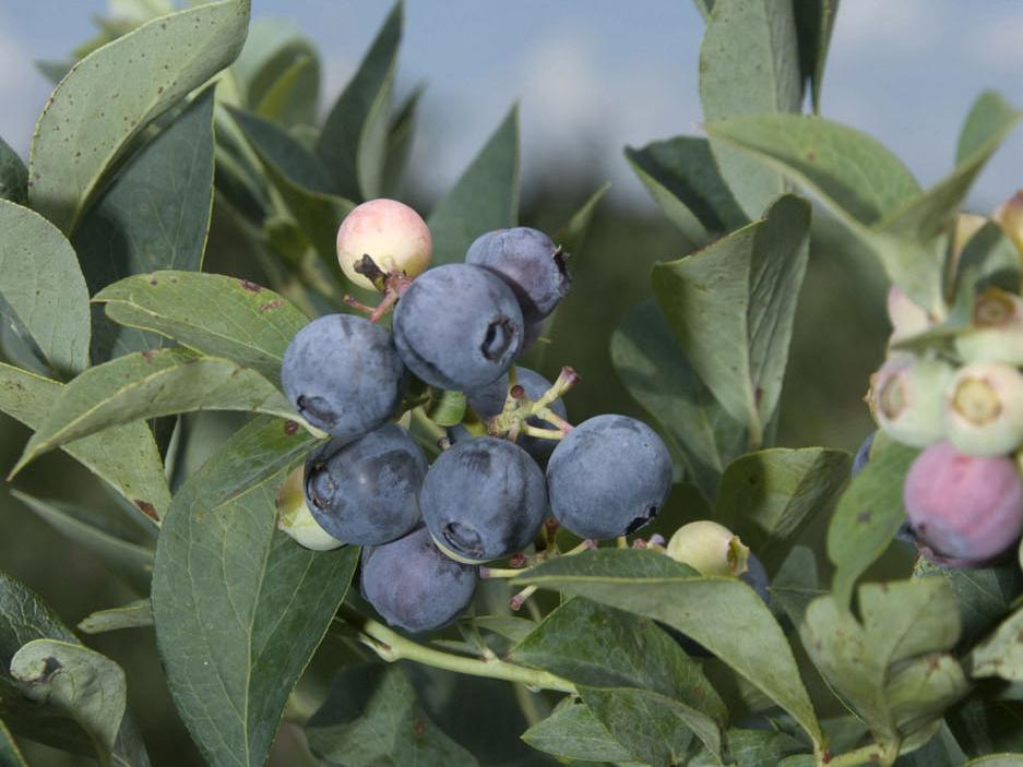 Mississippi blueberries, such as these near Richton, are experiencing strong yields in 2009. (Photo by Marco Nicovich)