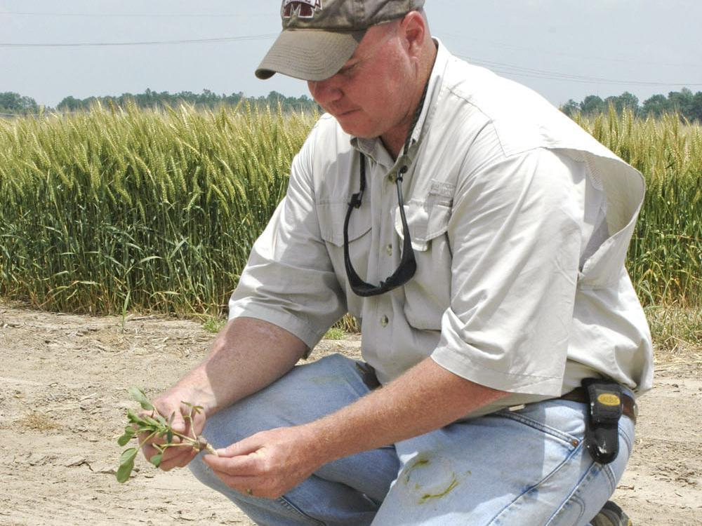 Jeff Gore, assistant research professor at Mississippi State University's Delta Research and Extension Center in Stoneville, checks the root development on a research plot of peanuts planted on April 20. (Photo by Rebekah Ray)