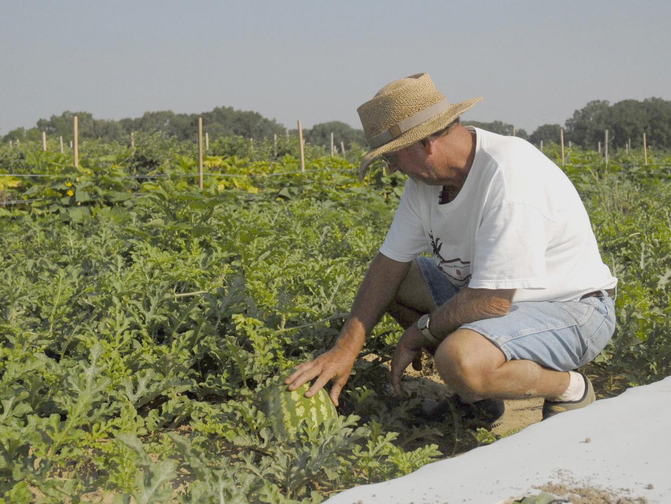 Chickasaw County farmer Doil Moore checks a young watermelon that will be ready before Fourth of July celebrations. (Photo by Linda Breazeale)