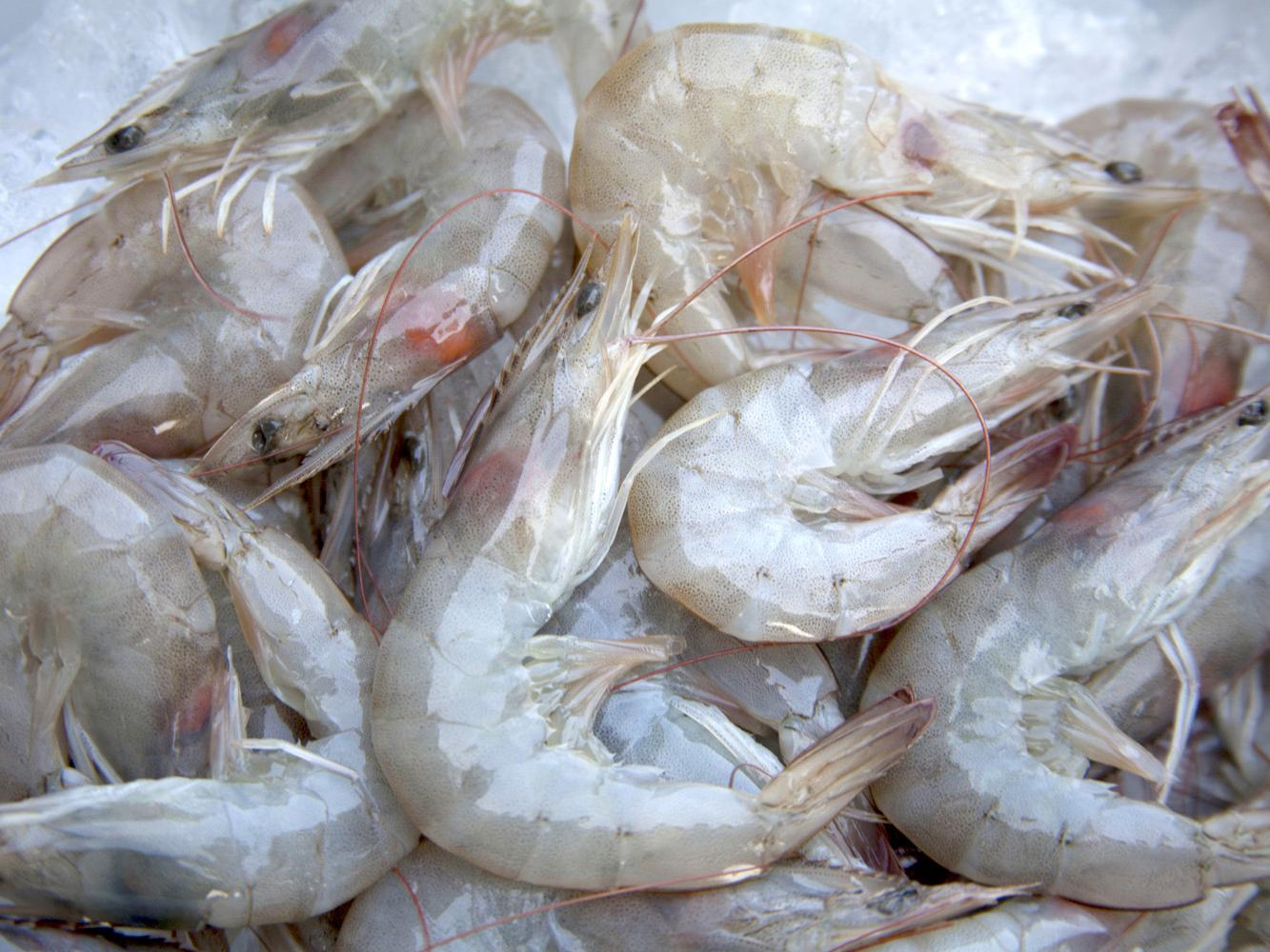 Shrimpers landed 901,000 pounds of shrimp in Mississippi during the first two weeks of the season, but most of those being caught in the Mississippi Sound are small. (Photo by Kat Lawrence)