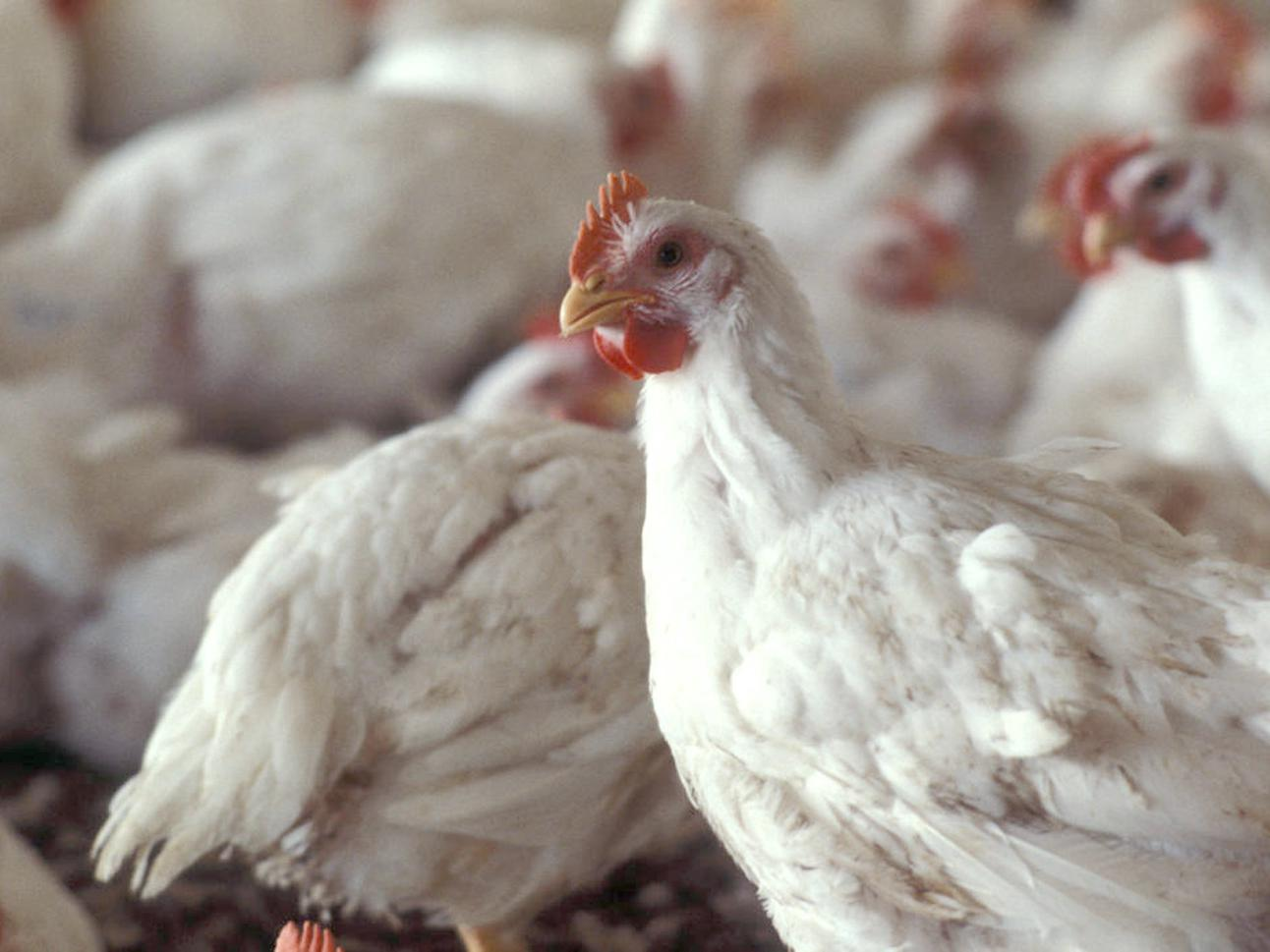 Poultry remains Mississippi's largest agricultural commodity, producing 10 percent of the nation's poultry supply. (File Photo)